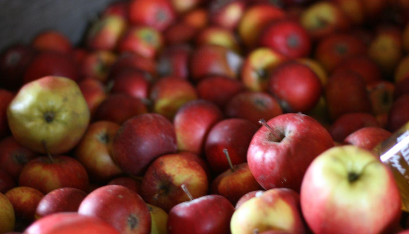 Äpplen som lämnats till kullamust under hösten.